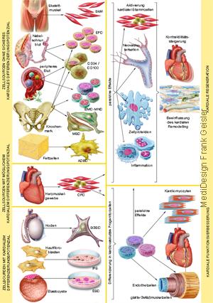 Grafikdesign Poster Stammzellen Stammzellgewinnung Kardiologie