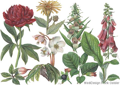 Illustration Zeichnung Pflanzen Heilpflanzen Arzneipflanzen