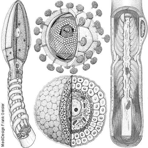 Illustration Zeichnung Anatomie Histologie Frank Geisler