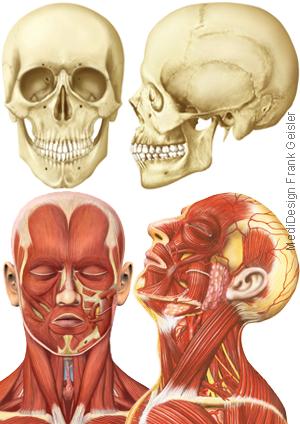 Illustration Zeichnung Anatomie Kopf Schädel Hals Muskeln