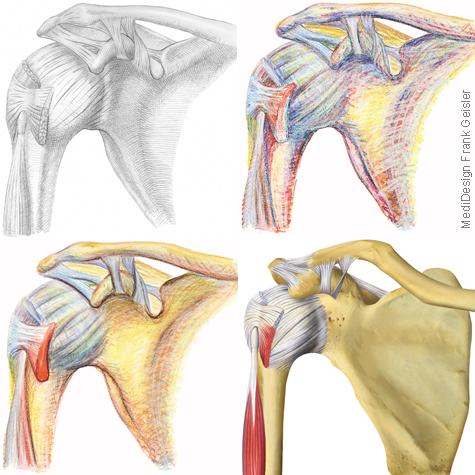Illustration Zeichnung Anatomie Schulter Schultergelenk von Frank Geisler