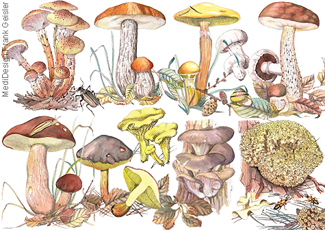Illustration Zeichnung Pilze Fungi Frank Geisler
