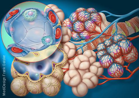 Medizingrafik Anatomie Alveolen Lungenbläschen Lunge