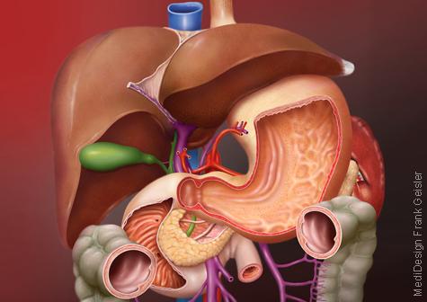 Medizingrafik Anatomie Organe Bauchraum Abdomen