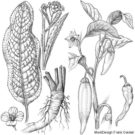 Zeichnungen, Strichzeichnungen Biologie Pflanzen Kräuter und Gewürzpflanzen
